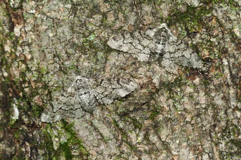 Peppered Moths Simulation Pictures